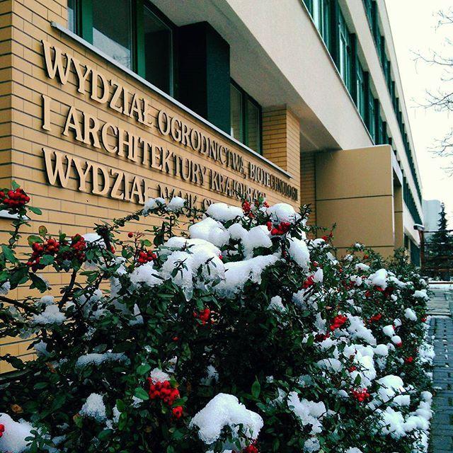 #budynek35 #irga #czerwonejagody #ogrodnictwo #zima #śnieg #snieg #WOBiAK #SGGW 🏬🌿🌿🌿⛄🌲 #building35 #cotoneaster #redberry #horticulture #WULS