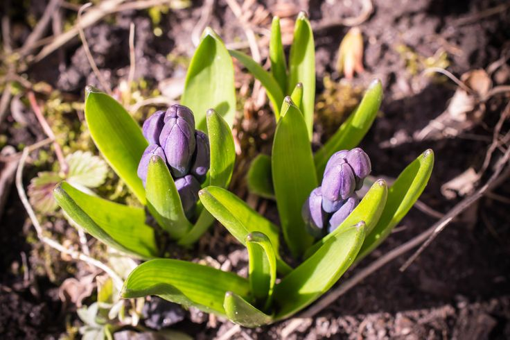 Hyacinthus orientalis by Tine Nordbred on 500px
