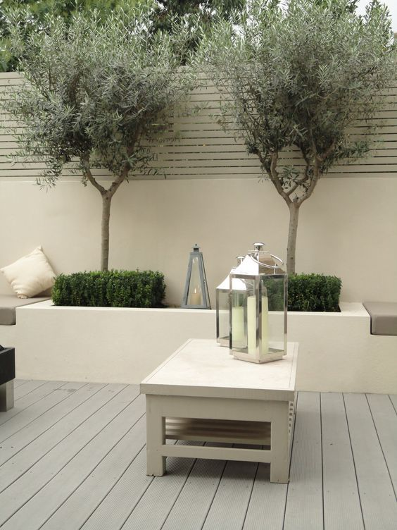 Contemporary rendered raised borders with olive trees in courtyard. Evergreen, soft grey tones, hardy and easily shaped.: