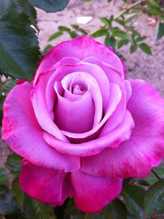 A pretty rose
