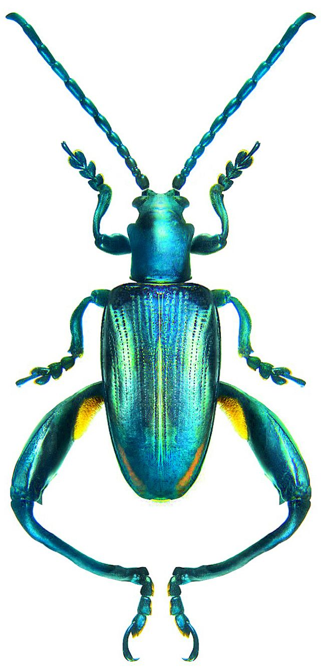 NATURE - INSECT - BEETLE - Sagra tristis