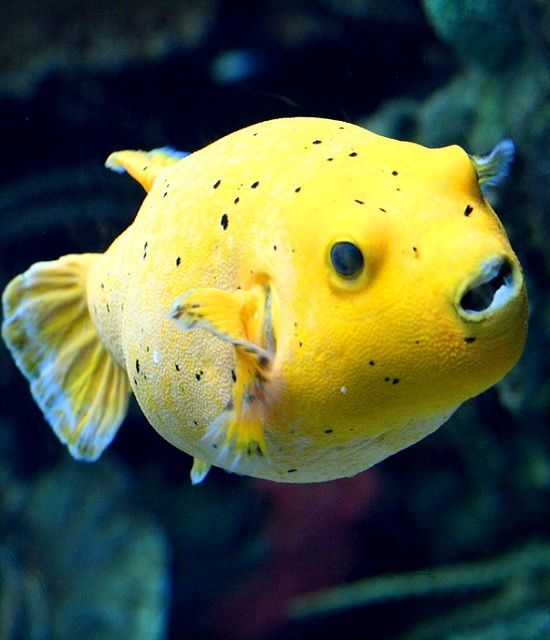 17 best images about fish pufferfish on pinterest fish for Cute freshwater fish