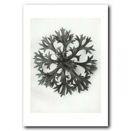Saxifrage (8x)