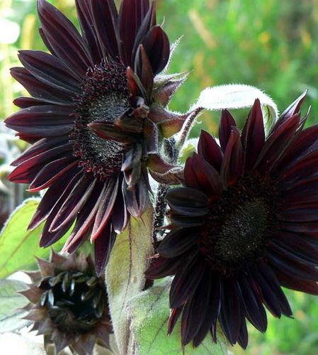 Black sunflower, I'm growing these with red sunflowers this year.