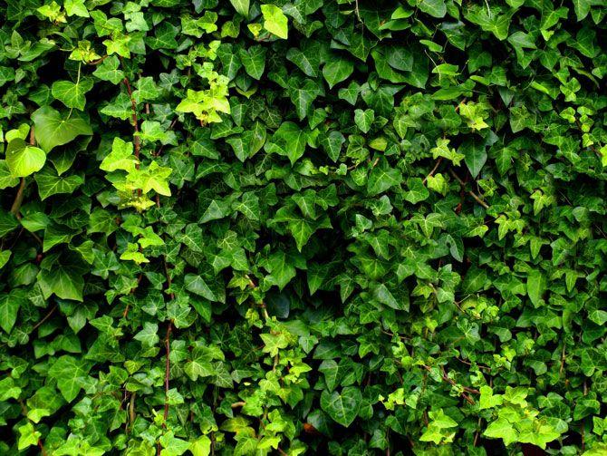 Flowering Vines For Privacy | Choosing Vines Articles
