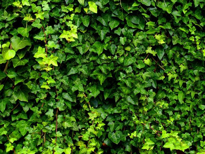19 best images about climbing vines for privacy on for Fast growing climbing plants for screening