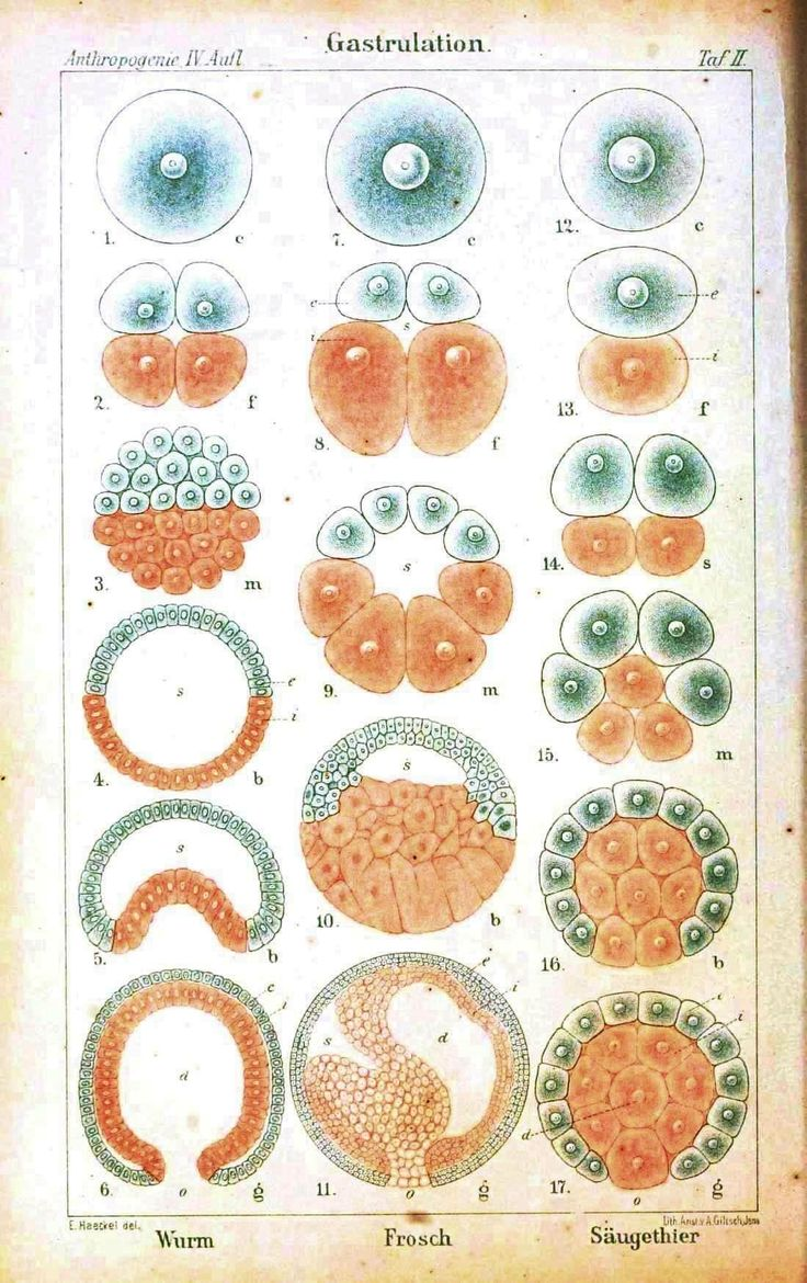 Medical - Embryology