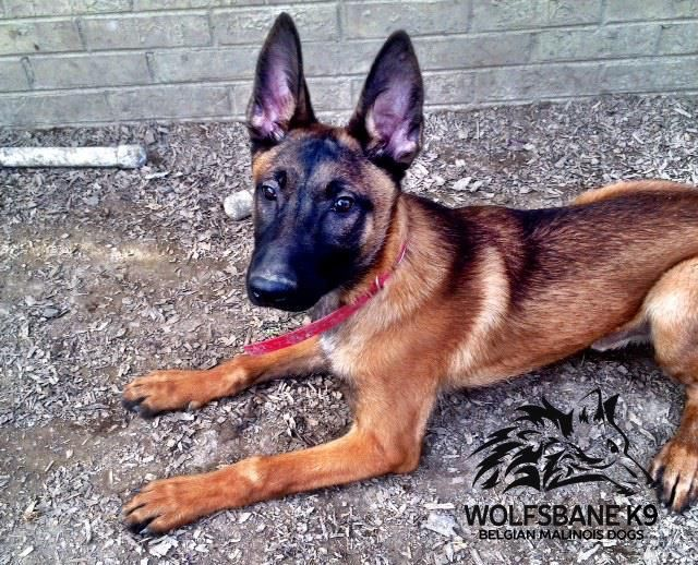 Www Wolfsbanek9 Com Belgian Malinois Sable Puppy Germanshepherd Belgian Malinois Breeders Malinois Malinois Puppies For Sale
