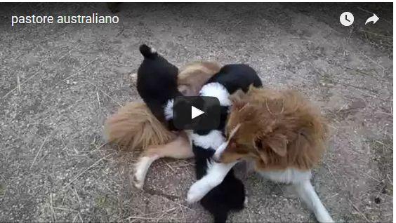 cuccioli di pastore australiano  Disponibili cuccioli di pastore australianoper informazione telefonare al 3452113946