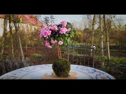 Diy Comment Faire Une Azalee En Kokedama Jardinerie Truffaut