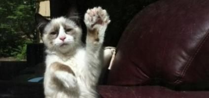 5 Fascinating Facts About Polydactyl Cats [with extra toes have a freaky awesomeness that we just love.] - Historically, polydactyly was a useful trait for Maine Coon cats. For a breed originating in snowy Maine, doublewide paws with extra digits functioned as natural snowshoes. At one time, as many as 40 percent of all Maine Coons had extra toes.Though the trait is no longer as predominant in the breed, Maine Coon polydactyls are still recognized as an official breedby many cat fanciers.