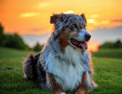 Australian Shepherd & Puppies Picture Gallery
