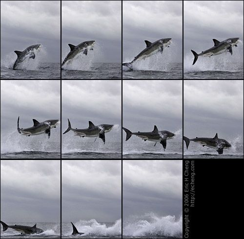 17 best ideas about great white shark pictures on for Why is it called a punch list
