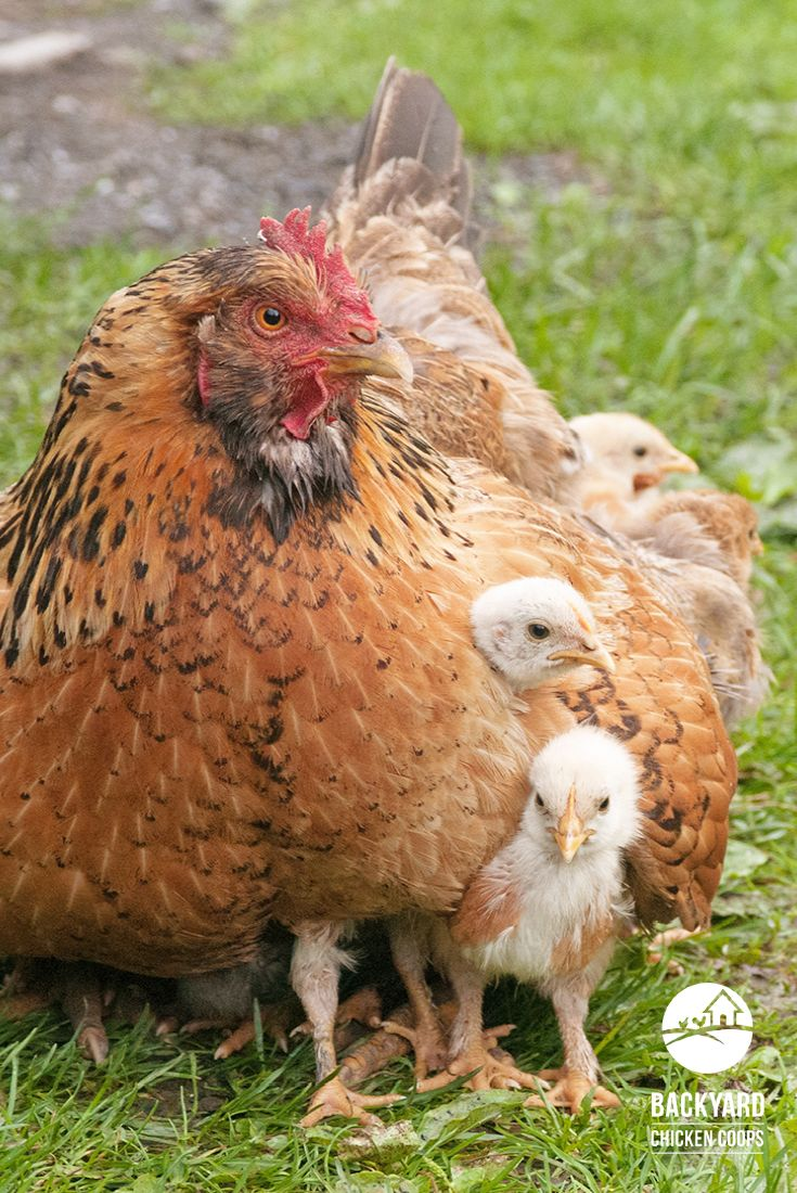 28 best keeping chickens warm images on pinterest keeping