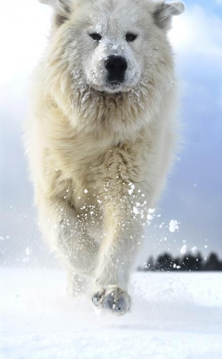 Great Pyrenees At anywhere from 85 to 160 pounds, Pyrenees can scare away the biggest dog enthusiasts with their loud, baritone barking.... My Odin <3