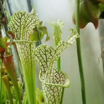 食虫植物の画像 by ろくぶさいさん | 小さな庭とペットプランツと食虫植物とサラセニア