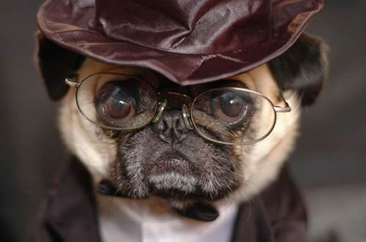 It's #HarryPugger! www.jointhepugs.com