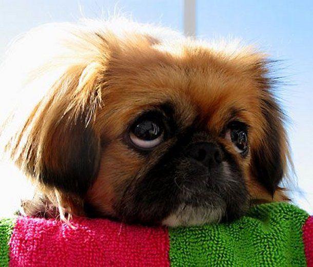 Beautiful Pekingese Puppy Face