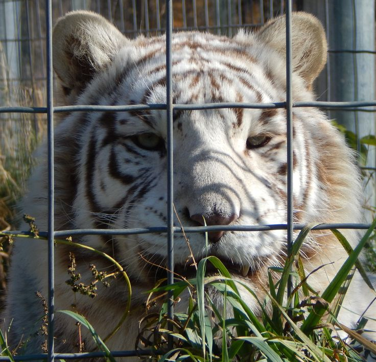 Big Cat Rescue Tampa Wish There Was One Of These Near My: Wisconsin Big Cat Rescue White Tiger