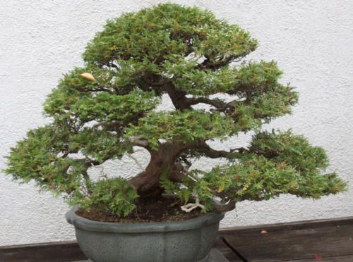 Mediterranean-Cypress-Cupressus-sempervirens-outdoor-bonsai-tree-seeds