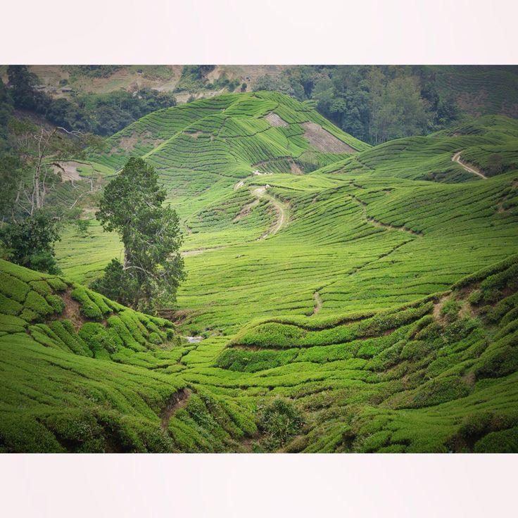 Champs de thé. Cameron Highlands, Malaisie.