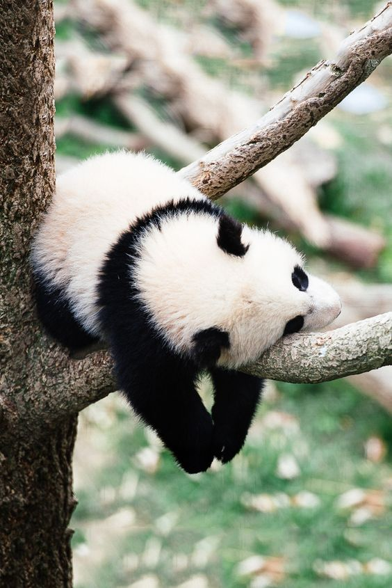 Panda sleeping on a tree