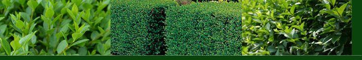Ligustrum, ligusterhaag kopen, online Haagplanten4you.nl  De ligustrum of Haagliguster, is een van de oudste soorten in ons land dioe als haagplant gebruikt wordt,   Kleiner smal tot ovaalronde bladeren die op hun beurt mooi donkergroen zijn maken deze soorten uitsteked geschkt voor strakke hagen en evt vormsnoei.  Bij oude boerderijen zien we deze planten ook vaak staan. De planten zijn voor nederlandse begrippen goed winterhard.      Half Groenblijvend.