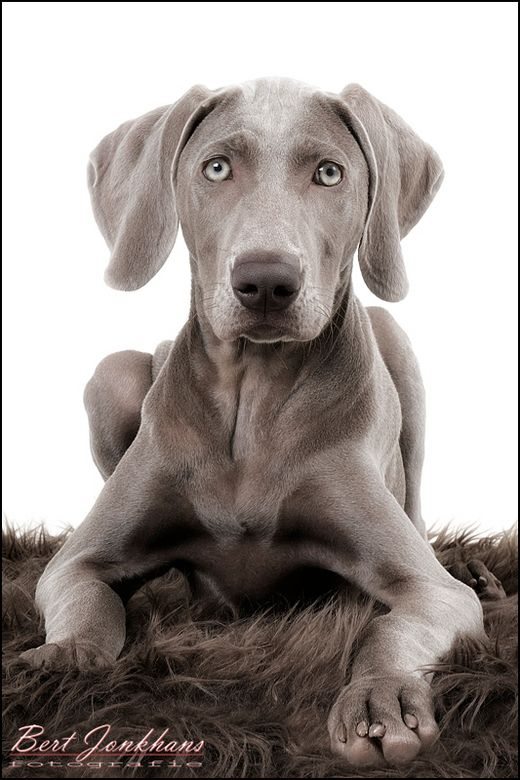 """Weimaraner.~~ extremely energetic with no """"off"""" switch, not happy being left alone — separation anxiety can be a real issue with this breed. can be difficult to housetrain and a hazard to cats and other small pets"""