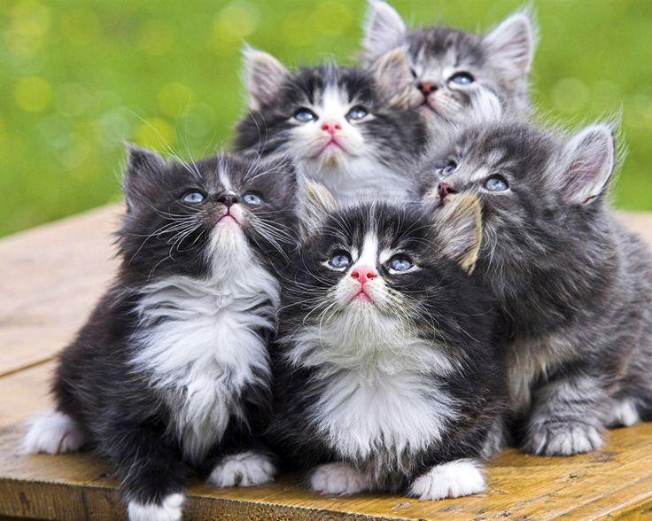 Norweigan Forest Kittens