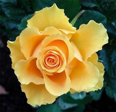 yellow rose with curly edges