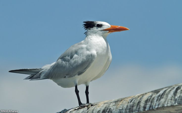 https://flic.kr/p/Wn8ZSw | Royal Tern | Thalasseus maximus maximus  La Ensenada Lodge, Guanacaste province, Costa Rica.  Use the right arrow to see another shot of this species.  1273