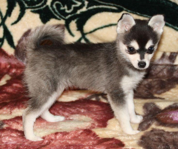 H O T Puppy Alaskan Klee Kai Alaskan Klee Kai Puppy Puppies