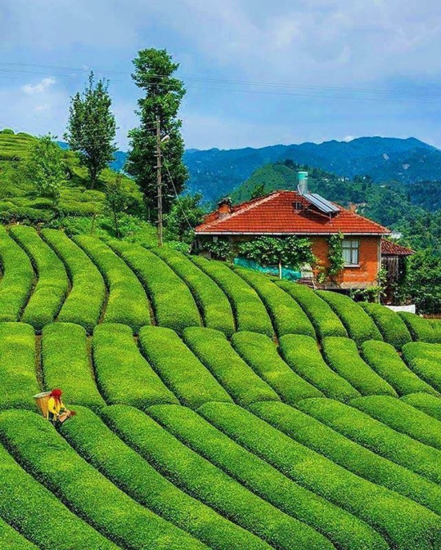 Tea plantation - Rize Turkiye