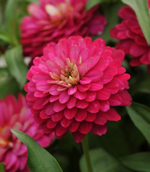 Common Garden Flowers Pink 22 best flowers (pink) images on pinterest | pink flowers