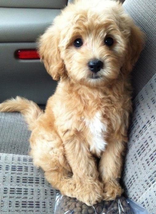 Cavapoo: all the cuteness and sweetness of a cavalier King Charles + the brains and non-shedding gene of a poodle!!