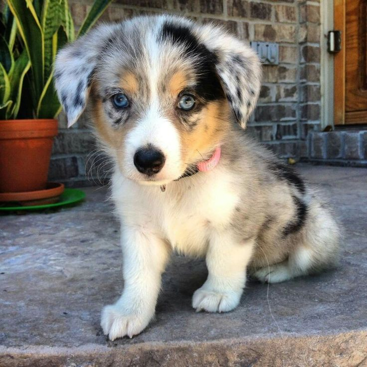 Corgi Aussie mix. ...so cute!