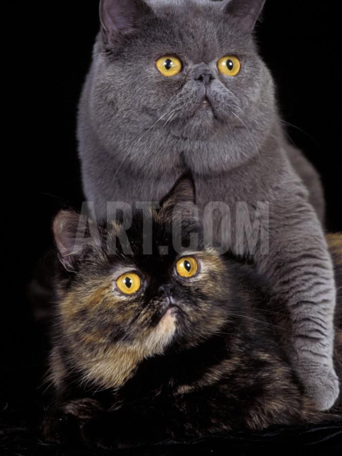 Exotic Grey Cat and Tortoiseshell Cat Mating Photographic Print by Adriano Bacchella at Art.com