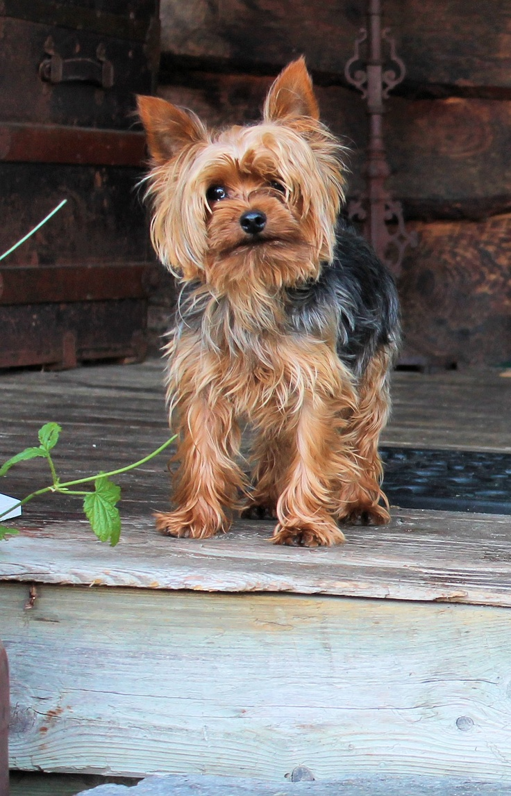 Ace is one of my fav yorkie stud muffins.