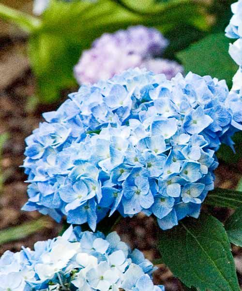 Hydrangeas - great post on their growing habits, when they bloom, how to prune, how to change their color, etc.