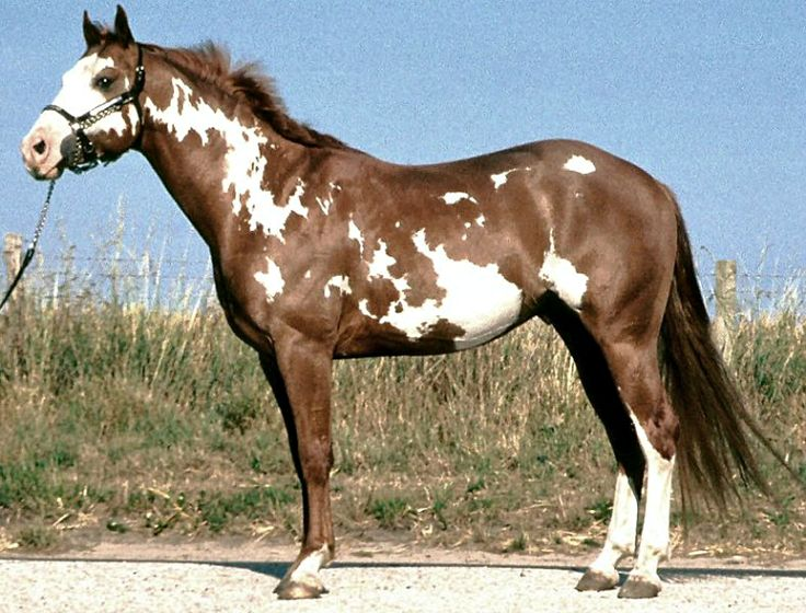 American Paint Horse. Overo spotting.