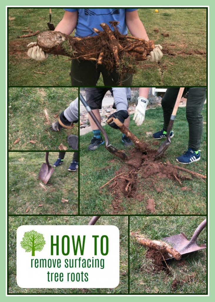 How To Remove Surfacing Tree Roots With Images Tree Root