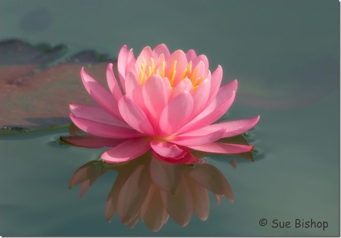 How to Photograph Water Lilies  lily nymphaea fire crest: Flowers Photography, Waterlili Firecrest, Lilies Lilies, Fire Crests, Lilies Nymphaea, Mygardenschool Flowers, Jewels Colour, Floating Jewels, Creative Flowers
