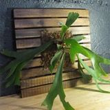The finished, newly mounted staghorn fern. Your fern will do best with indirect, filtered sun and high humidity. Water about once a week, always making sure that you allow the plant to completely dry out before re-watering. To help with humidity levels, ferns love a light daily misting of water. You can fertilize your fern with fish emulsion or a tropical plant food.