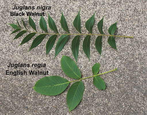 Distinguishing between Juglans nigra (black walnut) and Juglans regia (English walnut) by comparing leaves