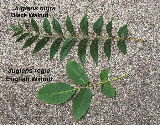 Distinguishing between Juglans nigra (black walnut) and Juglans regia (English walnut) by comparing leaves