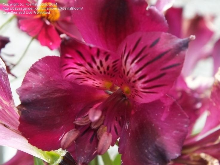 View picture of Alstroemeria, Peruvian Lily, Lily of the Incas 'Dark Purple' (Alstroemeria) at Dave's Garden.  All pictures are contributed by our community.