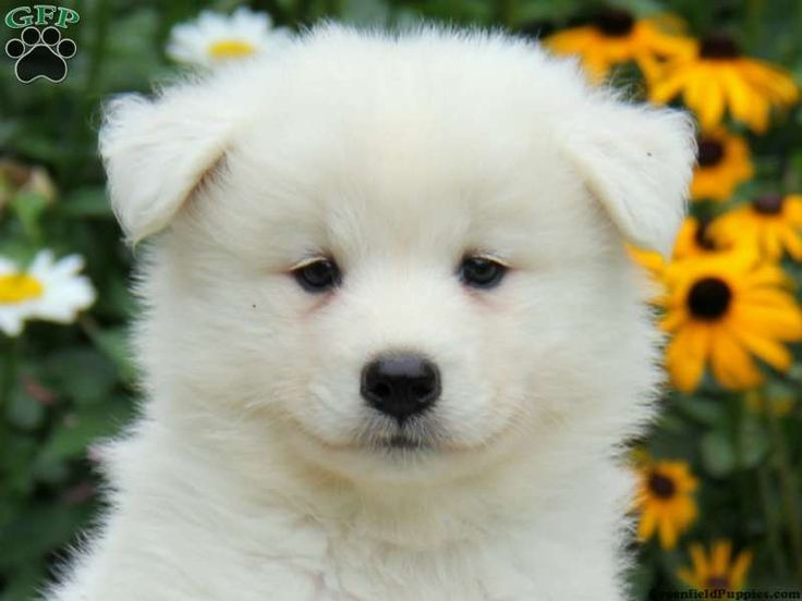 The 25 Best Samoyed Puppies For Sale Ideas On Pinterest