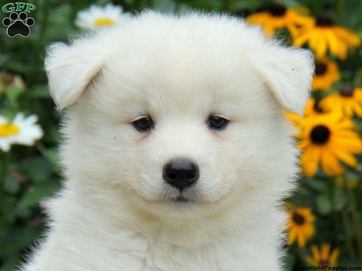 Best 25+ Samoyed puppi...