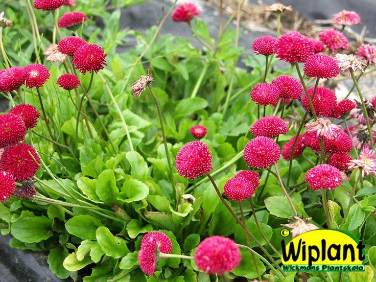 Bellis perennis, tusensköna. Röda blommor i maj-juni. Kräver väldränerad jord. 10 cm.