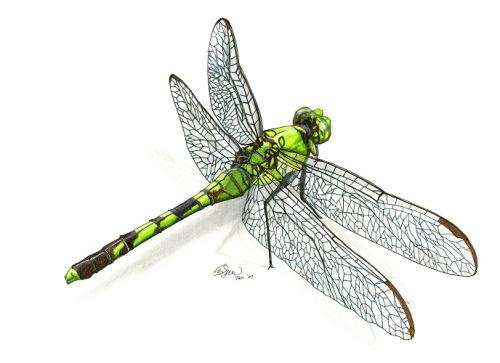 Green dragonfly pictures - photo#52